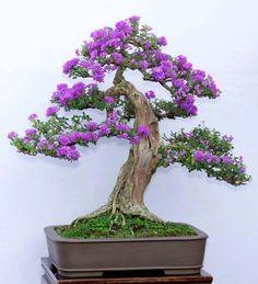 Stunning Purple Flowering Bonsai Tree