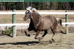 silver dapple - Estonian Native/Klepper gelding Reaal