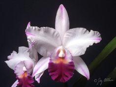Cattleya Dorothy Oka 'Crownfox' AM/AOS, 81pts (C. Shellie Compton x C. walkeriana) Exhib: RF Orchids Naples OS Show; 3-19-99 © Greg Allikas www.orchidworks.com