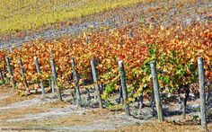 Matetic Vineyard Syrah | Casablanca Valley, Valparaíso - Chile [Photography: Pablo Negri Edwards - Copyright ©]