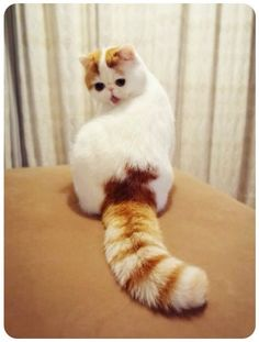 Snoopy cat The most Cutest Cat Breed in World
