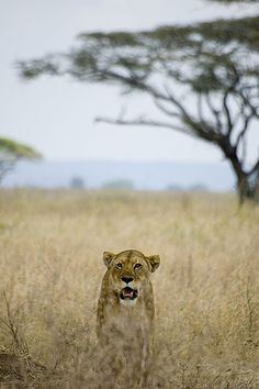 Lion in Serengeti, seronera range | Flickr
