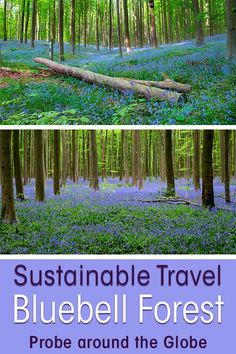 The Bluebell Forest near Halle Belgium is a true spectacle of nature. The Hallerbos Belgium showcases the most delicate wild bluebells in the forest. What I though would be a quiet morning in nature, turned into a fight about sustainable travel. Read more to find out what happened. #belgium #europe #sustainabletravel