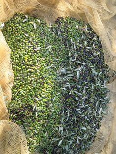 olive oil season love