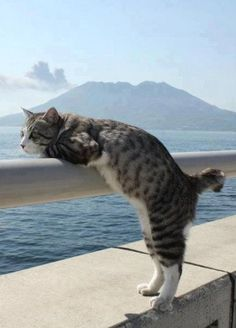 This looks like a sea side cat, waiting the fleets return. Expecting a fish for dinner. Lovely volcano behind it, beautiful sunny day. Just seems to be hanging around, passing the time of day.