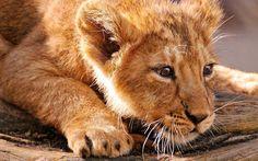 lion pictures free for desktop by Nyasia Stevenson (2017-03-12)