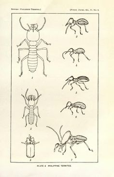 Philippine termites collected by R. C. McGregor, with descriptions of one new genus and nine new species - BioStor