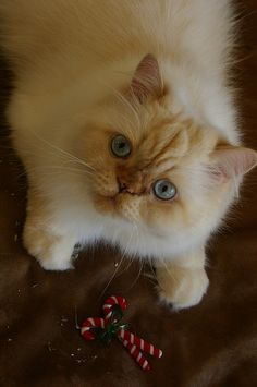 Merry Christmas from Cappuccino the Cat by newtosandiego, via Flickr