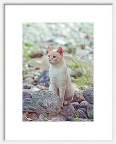 Framed Print featuring the photograph White Cat Sitting In Stones by Oksana Ariskina on @pixels and @fineartamerica. Buy print and other product with my fine art photography online: www.oksana-ariskina.pixels.com. Cat sitting near the river on shore. Altai, Russia #OksanaAriskina  #FineArtPhotography #HomeDecor #FineArtPrint #PrintsForSale #Altai #Altay #Nature #Mountains #Wild #Animals #Pets