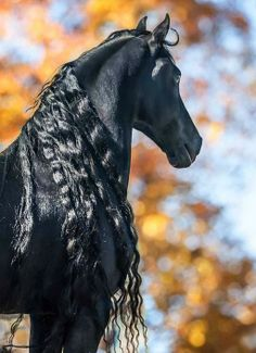 Sometimes it's about the hair. Friesian stallion. photo: Mark Barrett.