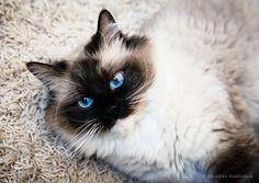 ragdoll blue eyes by venomxbaby.deviantart.com on @deviantART