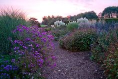Full autumn borders at dawn with Aster 'Percy Picton' and Cordateria - Lady Farm, Somerset