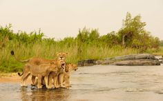 Timbavati Private game Reserve Lions