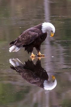 """""""Eagle on Ice"""" ~ Photo by James Geddes. Use with week Bible Club. Explore pictures of eagles. Pretty Birds, Beautiful Birds, Animals Beautiful, Animals Amazing, Animals And Pets, Funny Animals, Cute Animals, Wild Animals, Baby Animals"""