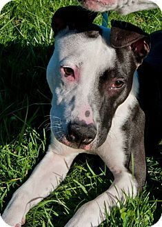 Reduced Adoption Fee through April! Meet Bren, a Pit Bull Terrier Mix Puppy for adoption in Shelbyville, Kentucky. She is spayed, house trained, up to date with shots, good with kids, dogs, and cats. Click to learn more about Bren on adoptapet.com.