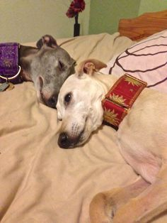 Two whippets sleeping....