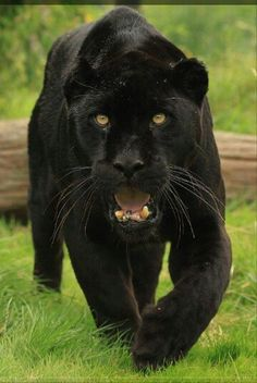 Black panthers are powerful, intelligent, and exotic animals. The black panther's habitats include the rainforest. Black Panther Habitat, Beautiful Cats, Animals Beautiful, Big Cats, Cats And Kittens, Siamese Cats, Animals And Pets, Cute Animals, Wild Animals