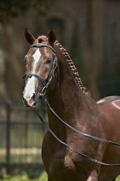 Westphalian stallion Dankeschön