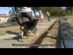 Barking and lunging at scooters - how Diesel's behaviour was changed (CASI) - YouTube
