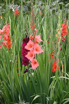 *Jetzt Blumenzwiebeln pflanzen, die im Sommer blühen:*   Das sind beispielsweise Tigerblume, Sterngladiole, Gladiolen, Hakenlilien, Sommerhyazinthen ... http://www.hobbygarten.de/gartengestaltung/blumenzwiebeln/index.htm