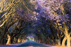 Purple flamboyant paradise in the central of South Africa, Travel Africa. Travel, Travel Wonders, Travel Wonder World The Places Youll Go, Places To Go, Beautiful Places, Beautiful Pictures, Trees Beautiful, Amazing Pics, Beautiful People, Tree Tunnel, Out Of Africa