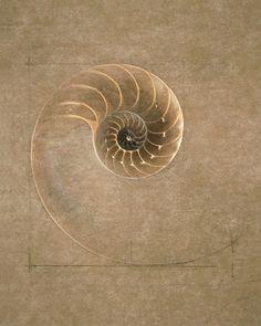 Golden mean fibonacci spiral nautilus