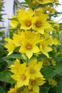 Yellow Loosestrife.  In my zone 5 garden it 'spreads' but isn't viciously invasive. I do have it 'trapped' in a fully packed, somewhat shady bed between our driveway and the neighbors house (this photo is not my plant).