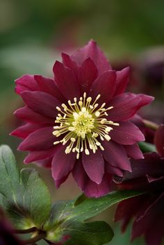 Hellebore Harvington Purple Double