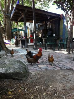 blue heaven restaurant, key west, florida.    yep, with all the roosters + chickens running around.