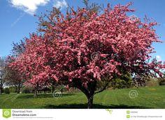 pink crabapple tree - Google Search