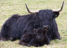 Scotland Photography: Black Highland Cattle Scotland Photography  ~~ The black ones are really pretty.
