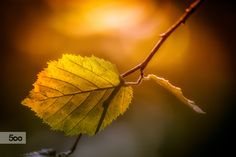 Leaf and Light by Olivier Ferrari on Macro Photography, Trick Or Treat, Leaves, Seasons, Nature, Ferrari, Autumn, Animals, Naturaleza