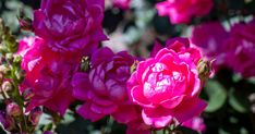 Cheap Landscaping Ideas, Garden Landscaping, Pruning Knockout Roses, Spring Months, Rose Care, Types Of Roses, Rose Bush, Garden Pond, Early Spring