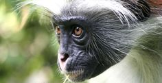 Red colobus monkey jozani forrest tour in zanzibar beach and safari.jpg (1170×600)