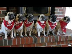 Who's got it better than pugs?  Who's crazier than pug owners? NOBODY!  Louis, Max, Minnie, Mabel, Tucker and Monte!