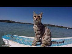 Αυτές οι γάτες βάζουν τα γυαλιά στον καλύτερο σέρφερ (Video) - http://ipop.gr/themata/vlepw/aftes-gates-vazoun-ta-gyalia-ston-kalytero-serfer-video/