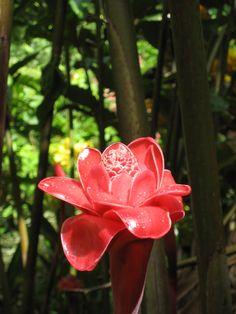 St. Lucia flower