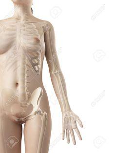 arm bones - Google Search