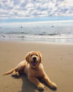 Goldens love the beach!