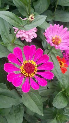 Flowers Gif, Zinnias, Empty, Beautiful Flowers, Plants, Backgrounds, Pretty Flowers, Planters, Plant