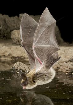 The long-eared myotis (Myotis evotis)::A species of vesper bat.. .