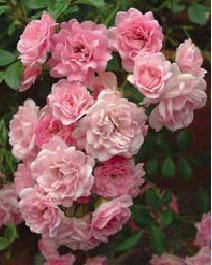 """The Fairy is sometimes called the first groundcover rose, usually grows 18""""-2ft tall by 2-3ft wide. Introduced in 1932 and popular ever since due to its abundant flowers and tough nature. Enormous numbers of 3/4 to 1 inch light pink blooms that may turn blush white in heat. Very disease resistant, tolerates poor soils and partial shade. Requires no care. Cascading habit makes it good in a container. EarthKind. Bentall, 1932."""