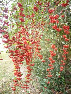 Pyracantha (firethorn) and a recipe for how to make jelly and a sauce out of the fruit. How To Make Jelly, Making Jelly, Tomato Jelly, Chokecherry Jelly, Gooseberry Jam, Natal Plum, San Jacinto Mountains, Chipotle Pepper, Wild Edibles