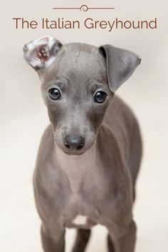 The modern Italian Greyhound originated in Italy about 2,000 years ago when Italians starting breeding the naturally born smaller sized Greyhounds, which eventually resulted in the modern Italian Greyhound. This breed was created to be a companion animal and they were favorites with the Romans and English nobility. Wanna know more about the Italian Greyhound? Click the photo!