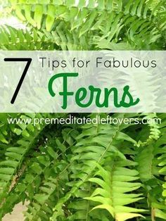 Container Gardening Ideas Tips for Growing Fabulous Ferns in your Garden- Ferns can be a tad finicky. Once you know these key gardening tips and tricks you can grow the most gorgeous ferns on the block! Indoor Ferns, Potted Ferns, Outdoor Plants, Fern Care Indoor, Growing Vegetables, Growing Plants, Gardening Vegetables, Growing Flowers, Shade Garden