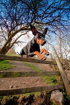 Doberman puppy jumping a fence .  www.eternityimages.co.uk