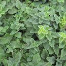 5 pasos para cultivar tu planta de orégano ecoagricultor.com
