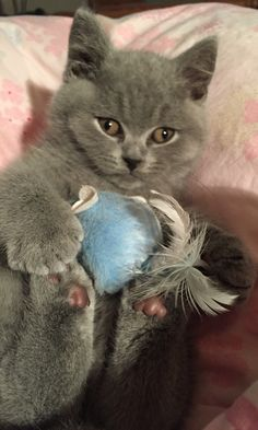 British Blue Kitten Max at 10 weeks old