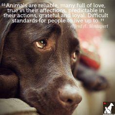 """""""Los animales son fiables, están llenos de amor, sinceros en sus afectos, predecibles en sus acciones, agradecidos y leales. Valores morales difíciles de igualar para las personas"""".  Alfred A. Montaper"""