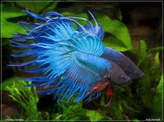 Image result for siamese fighting fish